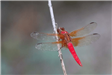 E16 - Dragonfly at Northaven Park