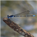 E68 - Blue Dragonfly at Northaven
